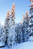 Spruce under snow in winter Lapland — Стоковое фото