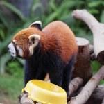 Red panda on the tree — Stock Photo #68317313
