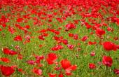 Flower meadow of red poppies — Stock Photo