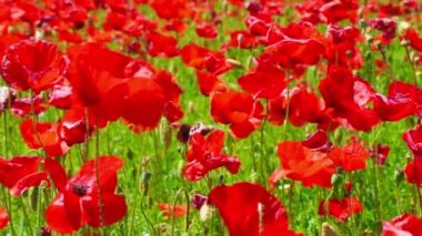 Flower meadow of red poppies in windy day, farmland, rural background — Stock Video