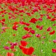 Flowers meadow of red poppies field in windy day, rural background — Stock Video #74574877