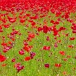 Flowers meadow of red poppies field in windy day, rural background — Stock Video #75145141
