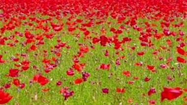 Flowers meadow of red poppies field in windy day, rural background — Stockvideo