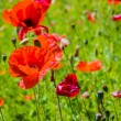 Red poppies on grass green background — Stock Photo #75303209