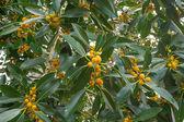 Australian Native Small Leaf Fig Tree Ficus oblique  — Photo