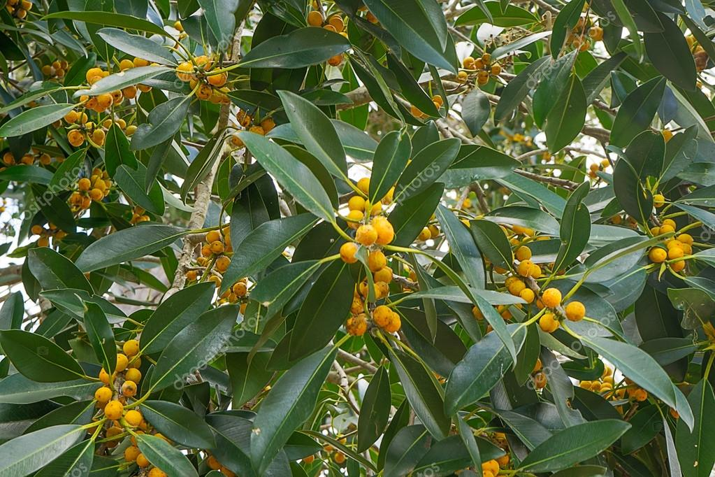 Small Native Australian Trees Australian Native Small Leaf
