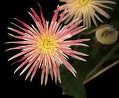 Gerbera flowers on a dark background — Stockfoto