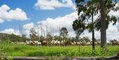 Australian Rural landscape with herd of Beef Cattle — Stock Photo