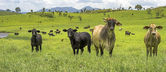 Australian Agriculture Beef Cattle Panorama Landscape — Stock Photo