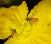 Hoverflies Collecting Pollen — Stock Photo