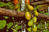 Tomate — Foto de Stock