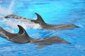 Two bottlenose dolphins in blue water — Stock Photo