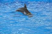Bottlenose dolphin in blue pool water — Stock Photo