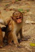 Monkey in jungle of Sri Lanka — Stock Photo