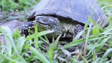 Sköldpadda i gräset — Stockvideo