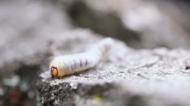 Maj beetle larv — Stockvideo