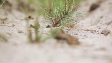 Planted pine seedlings — Stock Video