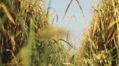 Wheat spikelets — Stock Video