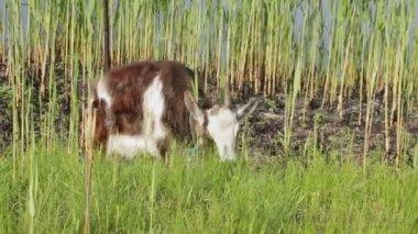 Comían hierba de cabra. — Vídeo de Stock