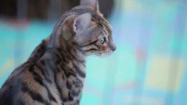 Gato em uma gaiola — Vídeo stock