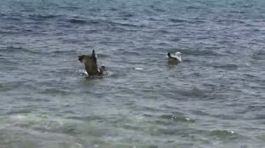 Seagull over sea water — Stock Video