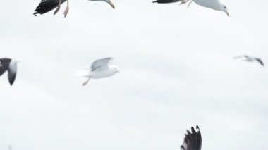 Seagull in flights — Stock Video
