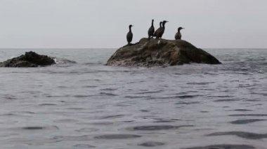 Groups cormorants on stones — Stock Video