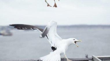 Fight seagulls — Stock Video