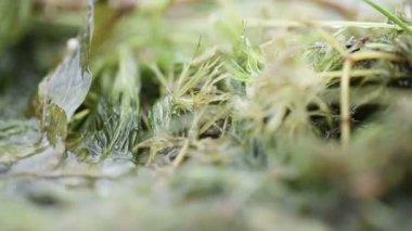 Algae on shore of river — Stock Video