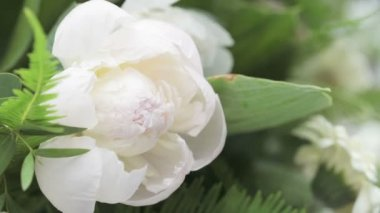 White Peony — Stock Video