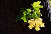 Maple leaves in the old tree — Stock Photo