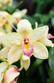 Flowers of orchid — Stock Photo