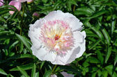 A flower of peony — Foto de Stock