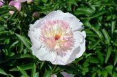 牡丹の花 — ストック写真