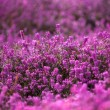 Forest heather — Stock Photo #71276659
