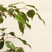 Ficus benjamin — Stock Photo