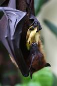Bat hanging on the tree eating bananna — Stock Photo