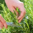Gardener gathers rosemary herb — Stock Photo #52342285