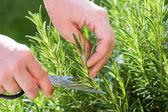 Gardener gathers rosemary herb — Stock Photo