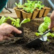 Farmer planting young seedlings — Stock Photo #53326935