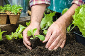 Farmer planting young seedlings — Stock Photo