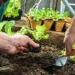 Farmer planting young seedlings — Stock Photo #54219245