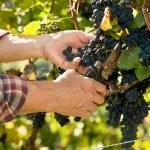 Man working in a vineyard — Stock Photo #54755207
