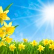 Daffodils against blue sky — Stock Photo #55507073