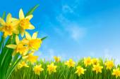Daffodils against blue sky — Stock Photo