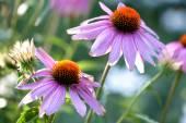 Echinacea flores — Foto Stock