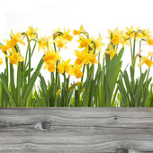 Spring daffodils flowers — Stock Photo