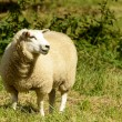 Sheep at Abbey park 01 , Lacock — Stock Photo #53967947