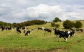 Cows pasturing in Somerset countryside — Stock Photo
