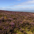 Heather field  in moor and Bristol channel, Exmoor — Stock Photo #57016751